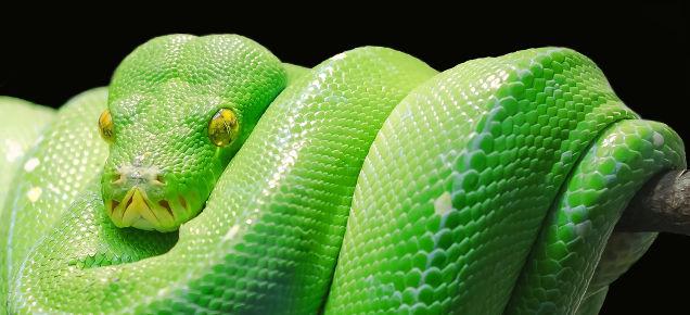 Wąż pyton